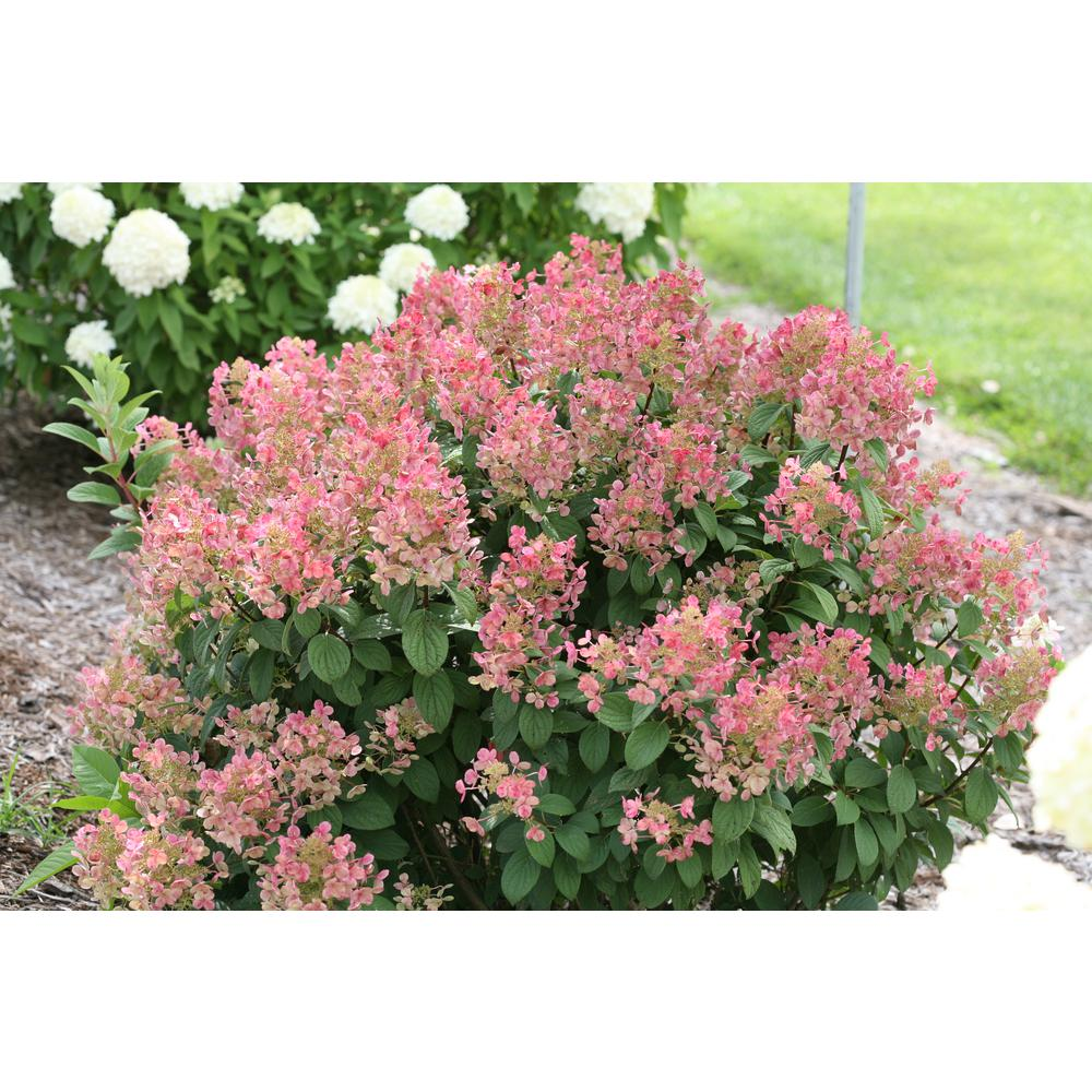 Proven winners 1 gal little quick fire hardy hydrangea paniculata proven winners 1 gal little quick fire hardy hydrangea paniculata live shrub mightylinksfo