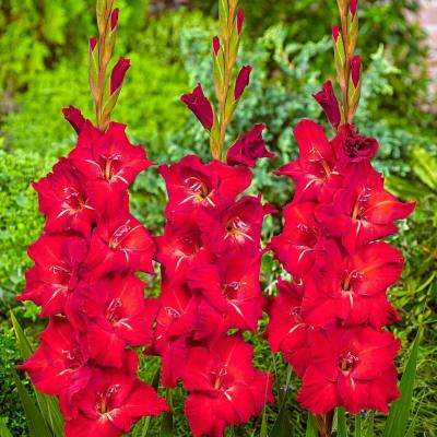 Red Flowers Black Swan Gladiolus Bulbs (25-Pack)