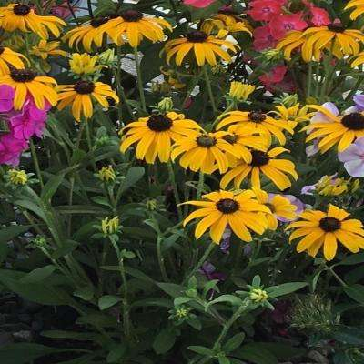 6 in. American Gold Rush Golden Yellow Black Eyed Susan Plant