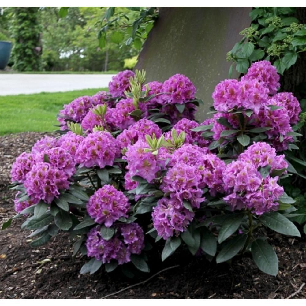 PROVEN WINNERS 3 Gal. Dandy Man Purple Rhododendron ColorChoice Shrub