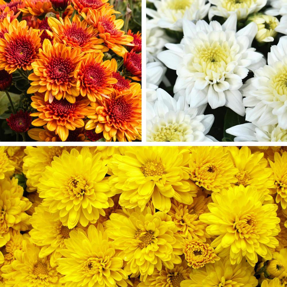 1 qt. Pumpkin Spice Classic Decoration Kit Yellow-Bronze-White Blooms Mum Plant (3-Piece)