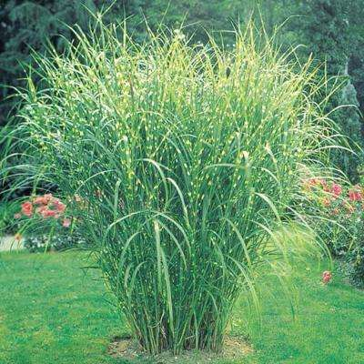 3 in. Pot Zebra Grass (Miscanthus), Live Perennial Plant, Variegated Foliage (1-Pack)