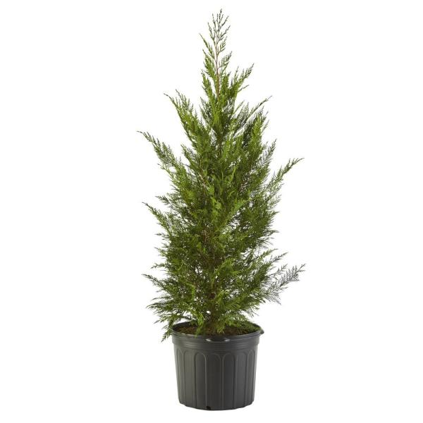 7 Gal. Leyland Cypress Evergreen Tree with Green Foliage