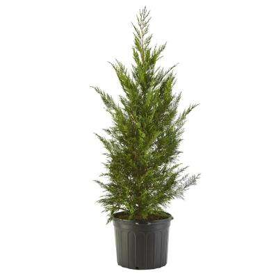 2.25 Gal. Leyland Cypress Evergreen Tree with Green Foliage (2 Pack)