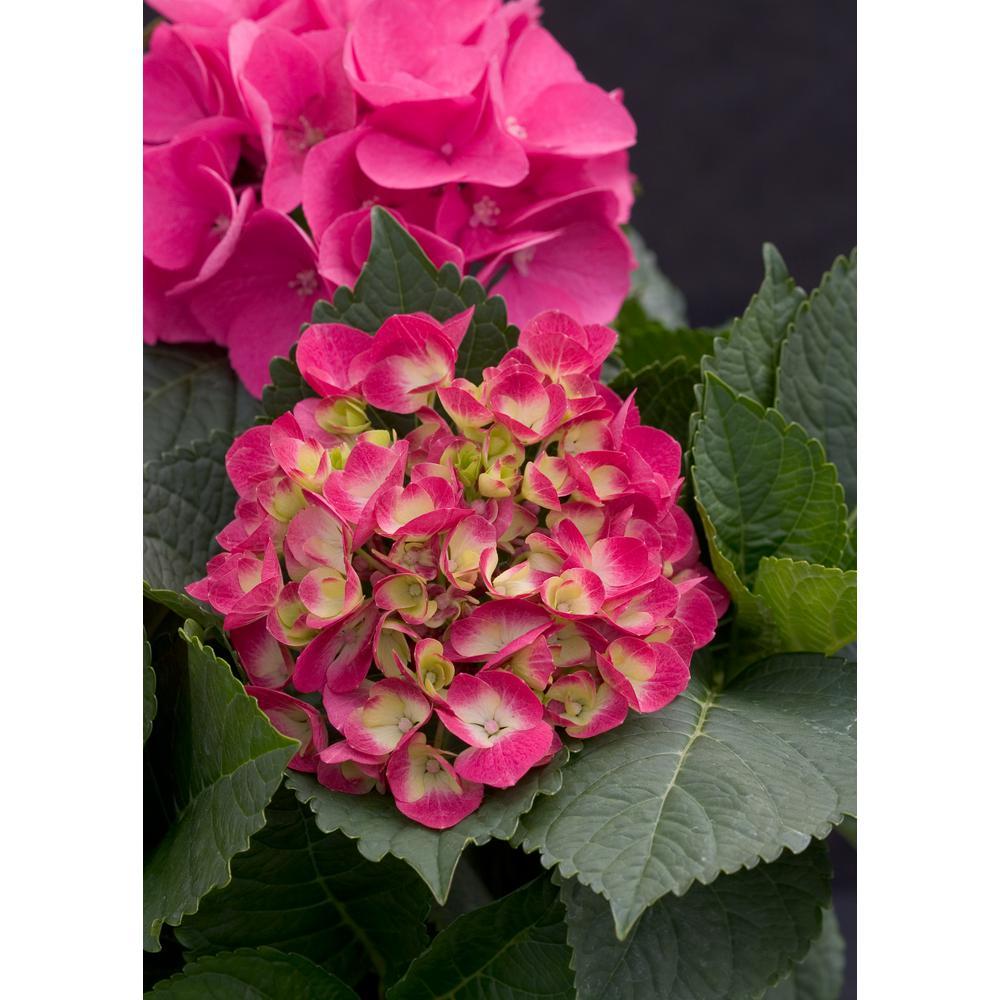 1 Gal. Cityline Paris Bigleaf Hydrangea (Macrophylla) Live Shrub, Pink, Red and Green Flowers