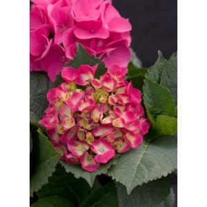 1 Gal. Cityline Paris Bigleaf Hydrangea (Macrophylla) Live Shrub, Pink, Red and Green Flowers