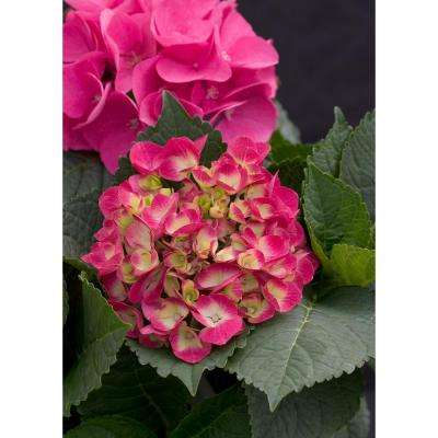 4.5 in. qt. Cityline Paris Bigleaf Hydrangea (Macrophylla) Live Shrub, Pink, Red and Green Flowers