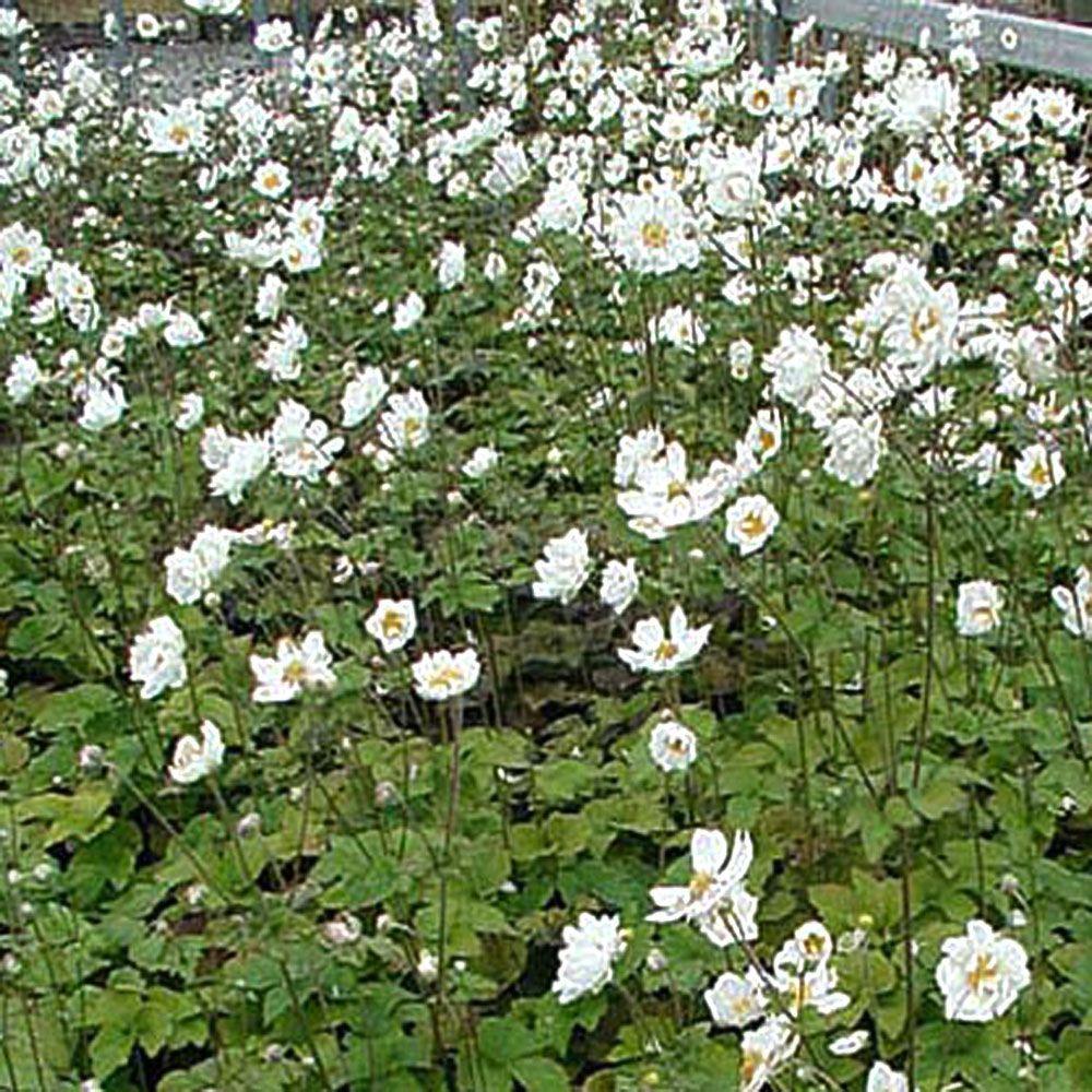 OnlinePlantCenter 1 gal. Japanese Wind Flower Plant