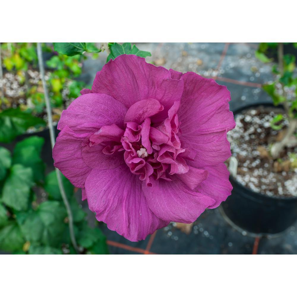 1 Gal. MagentaChiffonRose Of Sharon Hibiscus Live Plant, Purple Flowers