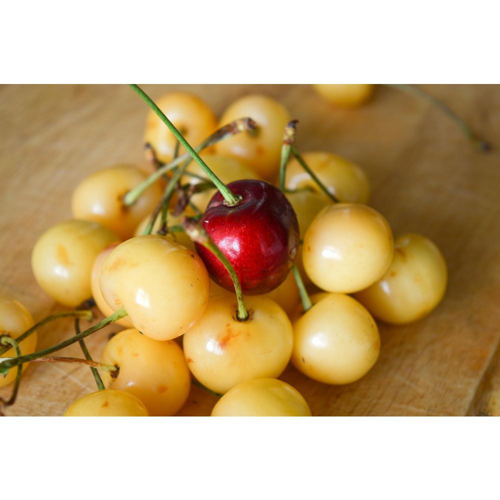 2 Unique Cherry Varieties Growing on 1 Tree! Double Cherry Twist Tree