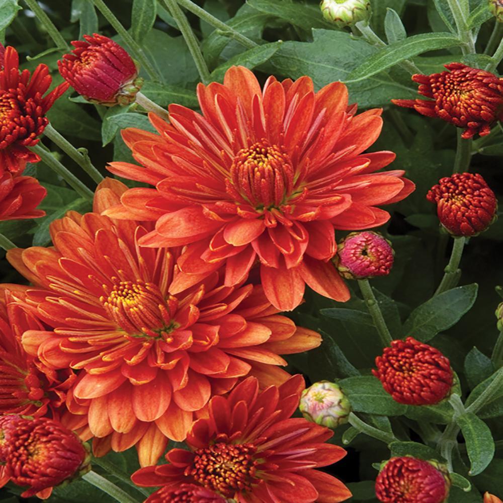 8 in. Orange Chrysanthemum Plant