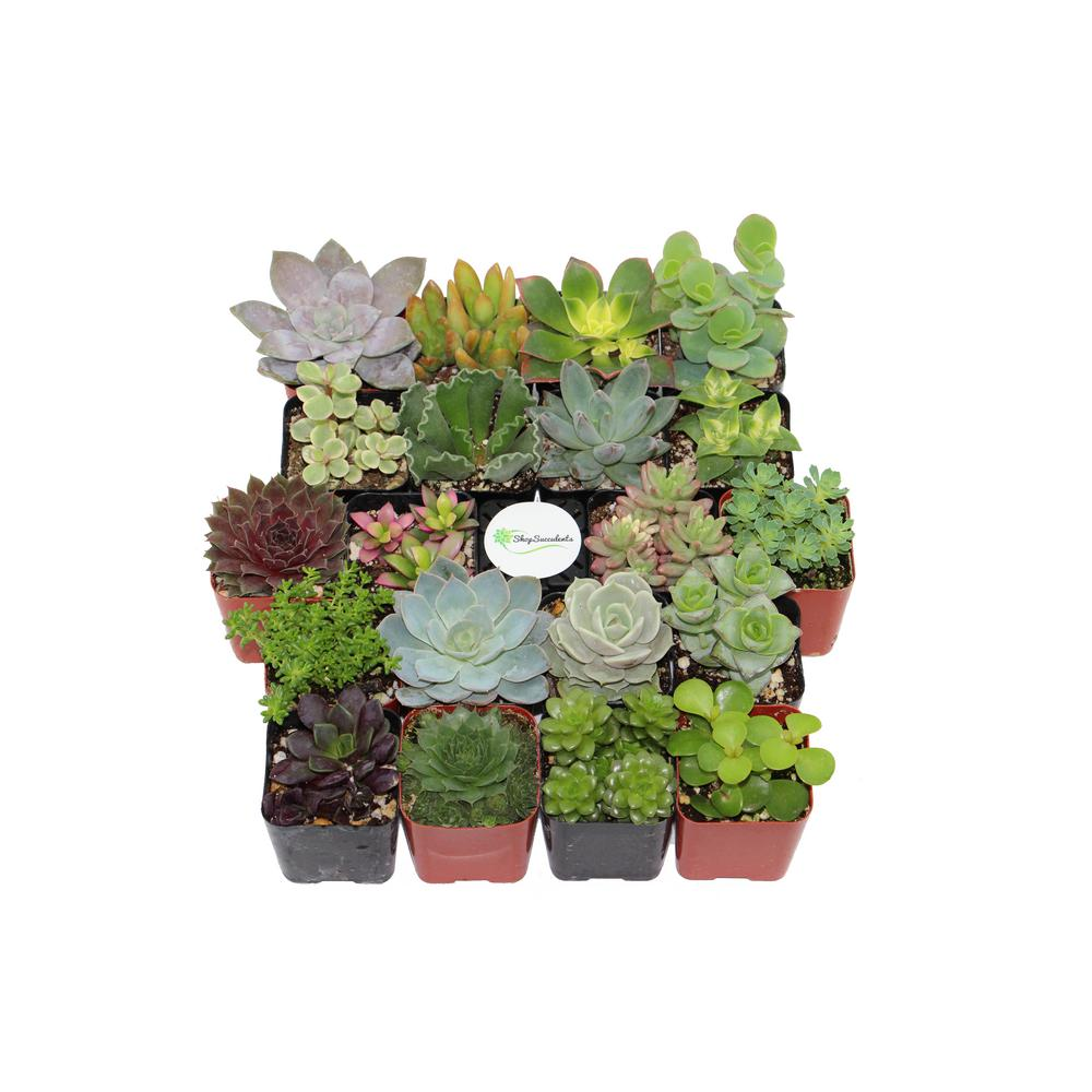 2 in. Shop Succulents Assorted Succulent Collection (100 ...