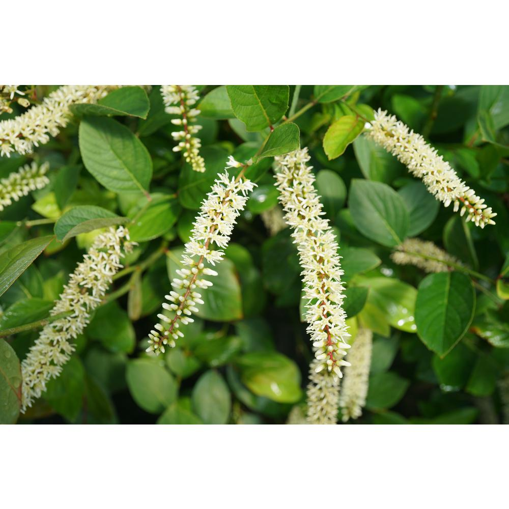 Proven Winners Proven Winners 4.5 in. Quart Scentlandia Sweetspire (Itea) Live Shrub with White Flowers