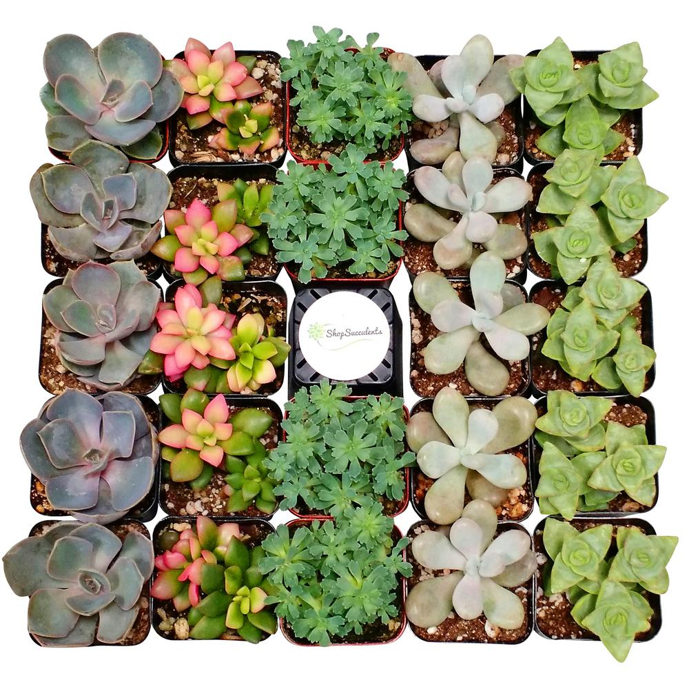 2 in. Assorted Succulent Variety Collection (256-Pack)