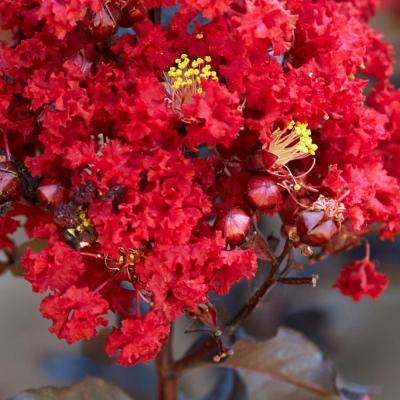 Red Hot Black Diamond Crape Myrtle