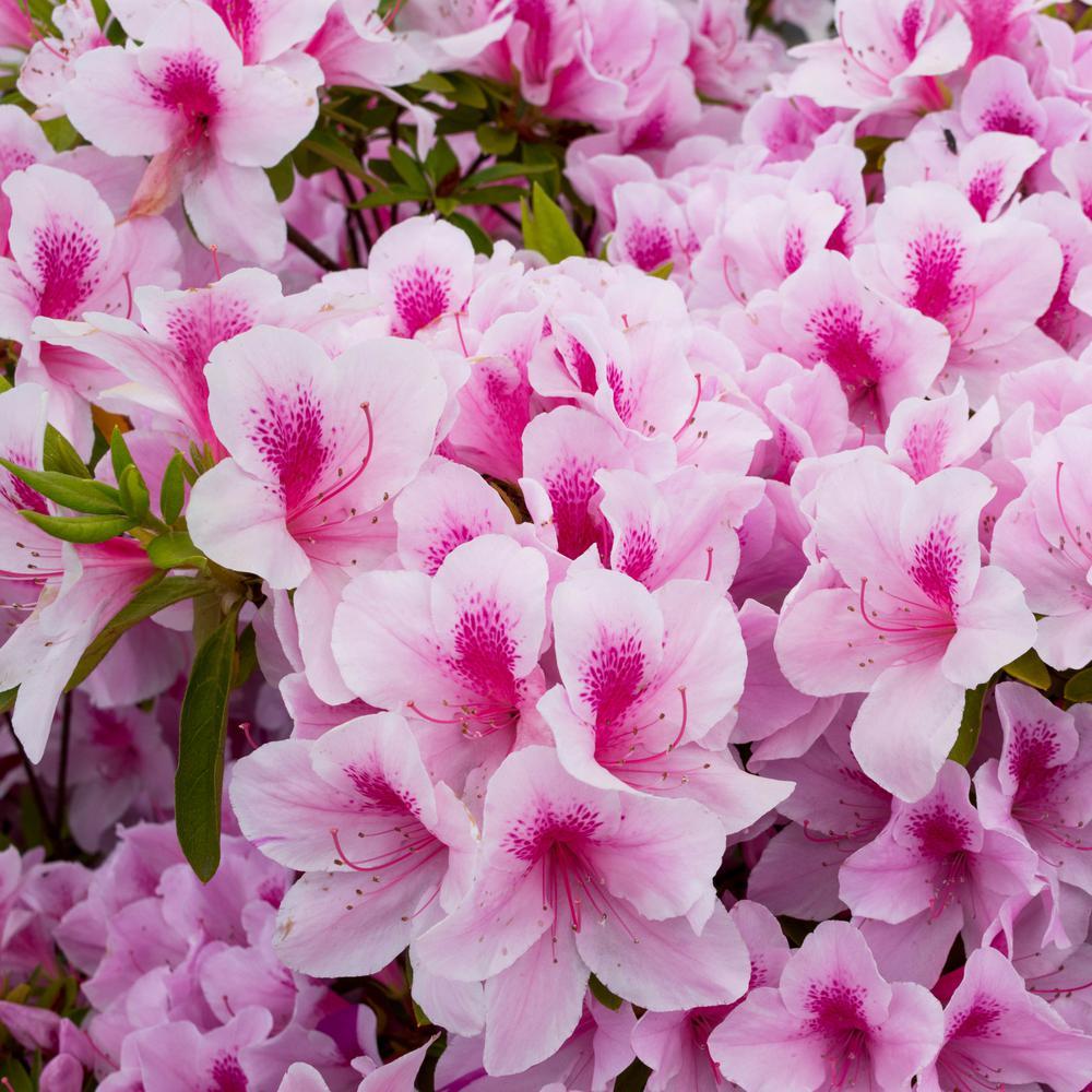 2.25 Gal. Azalea Formosa Flowering Shrub with Pink Blooms