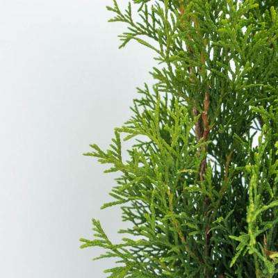 2.5 Qt. Emerald Green Arborvitae (Thuja), Live Evergreen Plant, Green Foliage (1-Pack)