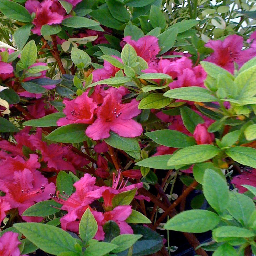 OnlinePlantCenter 1 gal. Girards Scarlet Azalea Shrub-DISCONTINUED