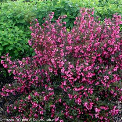 4.5 in. qt. Wine and Roses Reblooming Weigela (Florida) Live Shrub, Pink Flowers and Dark Purple Foliage
