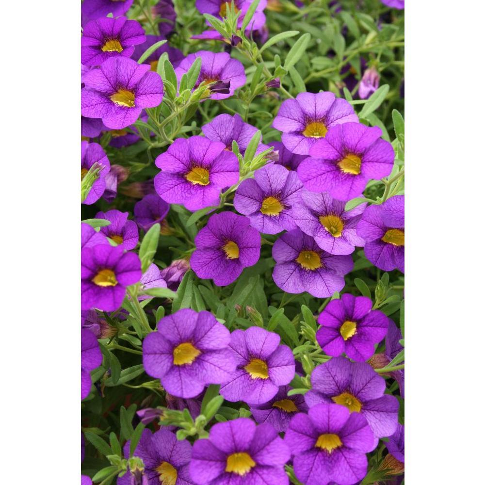 Blue annuals garden plants flowers the home depot superbells blue calibrachoa live plant blue purple flowers izmirmasajfo Images