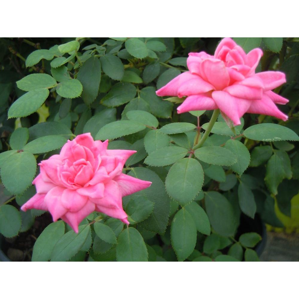 Mea Nursery EcoRose Pink Double Knock Out, Twin Pack