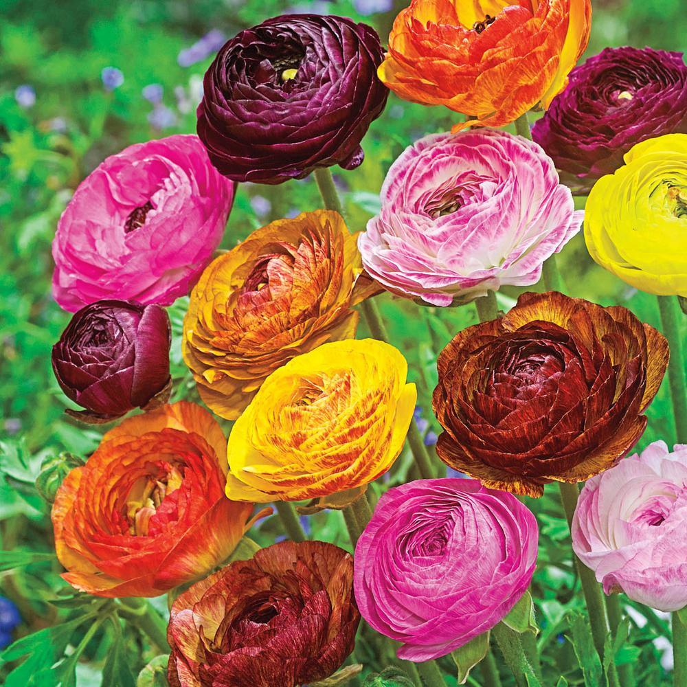 Multi-Color Flowers Picotee Ranunculus Bulb Mixture (50-Pack)