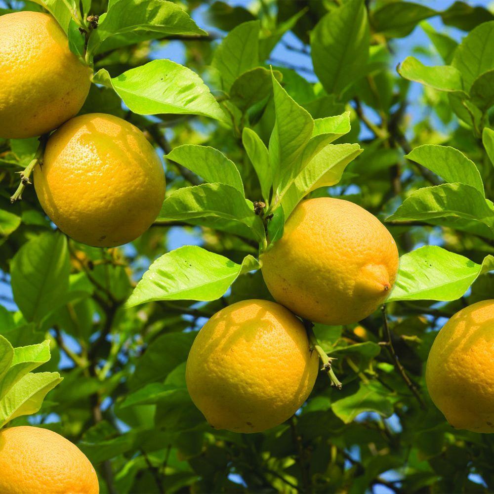 32 in. Tall 1 Year Old Citrus Lemon Meyer