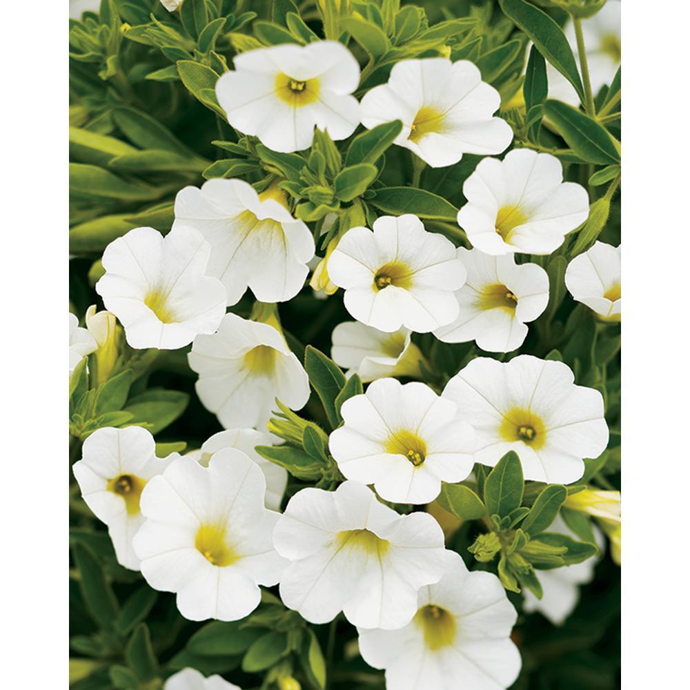 White annuals garden plants flowers the home depot superbells white calibrachoa live plant white flowers 425 in grande mightylinksfo