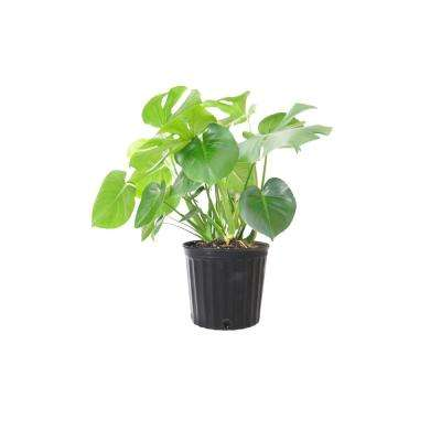 Philodendron Monstera Swiss Cheese Multi-stem Plant in 9.25 in. Grower Pot