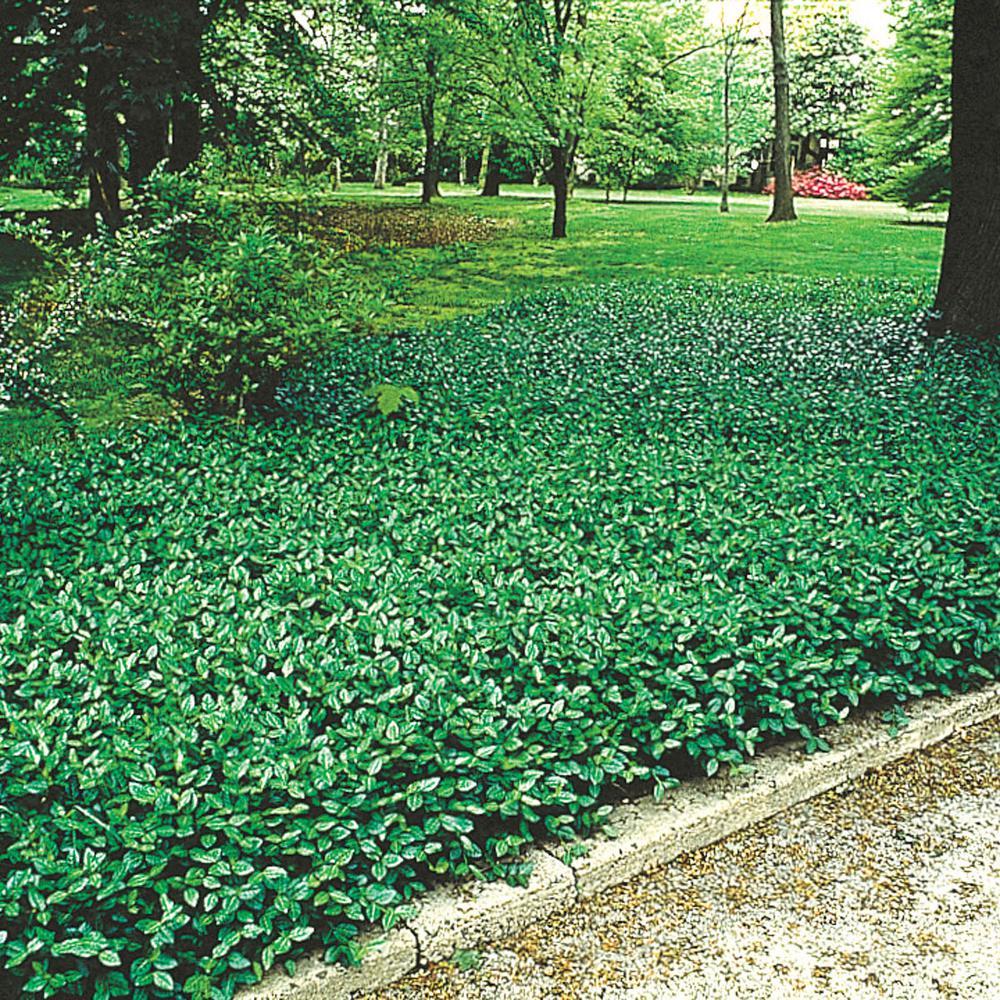 Spring Hill Nurseries Green Foliage Purple Wintercreeper Euonymus