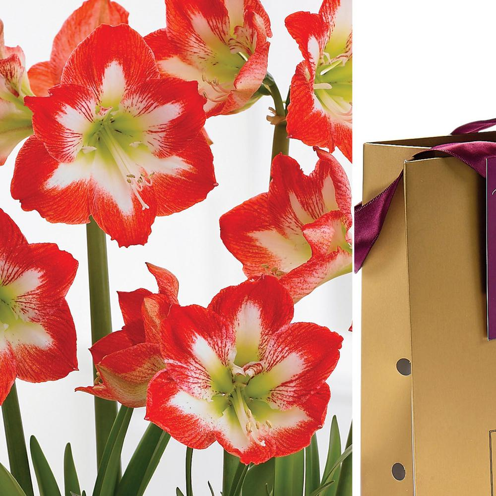 Red and White Amaryllis Stargazer Bulb in Gold Gift Bag