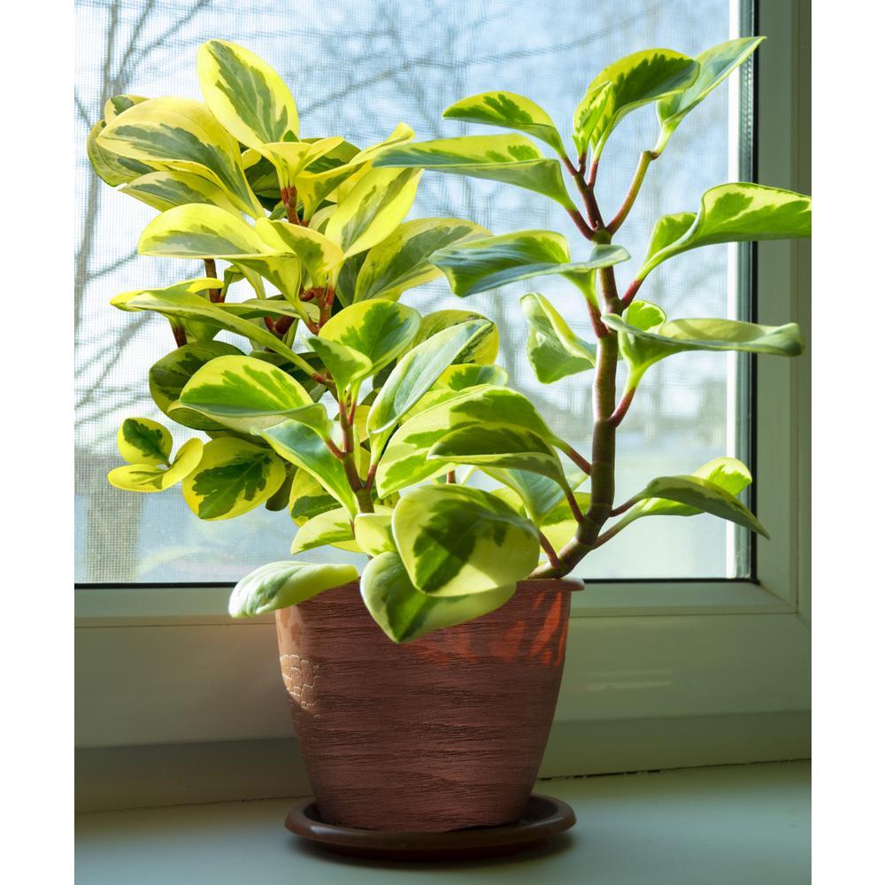 4 in. Variegated Obtusifolia Peperomia Plant