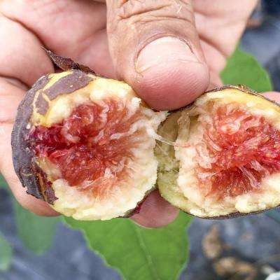 Chicago Hardy Fig Tree (1-Plant)