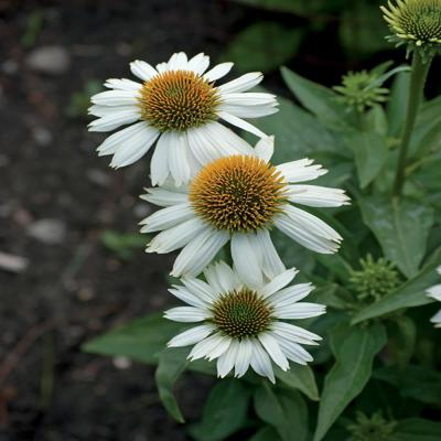 2.5 Qt. Pow Wow White Coneflower Plant
