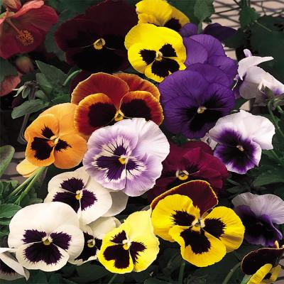 4.5 in. Blotch Pansy Plant