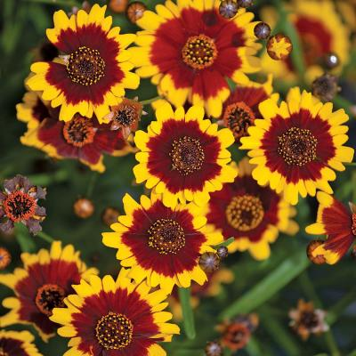 1 Gal. Yellow and Red Tickseed Plant