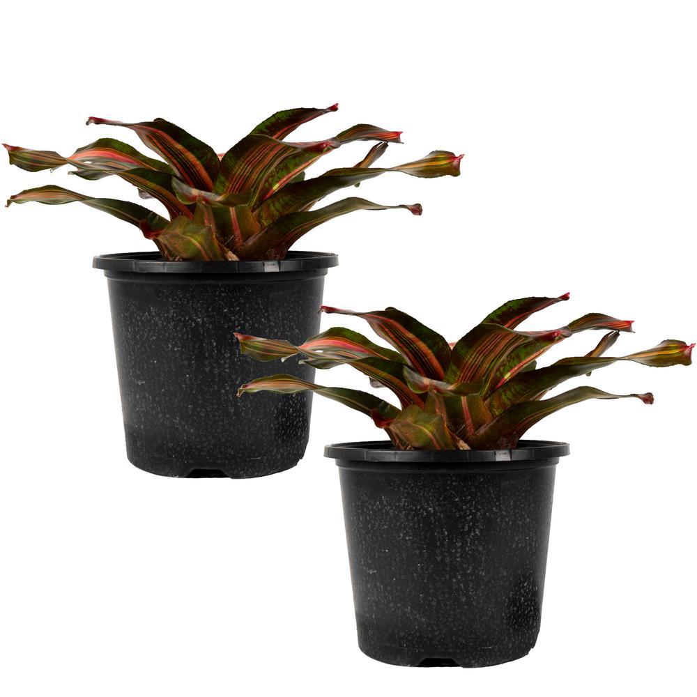 Kahala Dawn Bromeliad Neoregelia Live Plant in 8 in. Growers Pot (2-Pack)