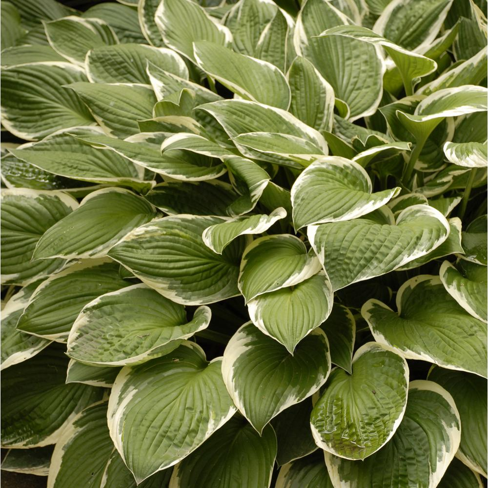Variegated 1 Qt Hosta Mix Pack Of 4 Hostaqtvg4pk The Home Depot