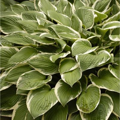 Variegated 1 Qt. Hosta Mix (Pack of 4)