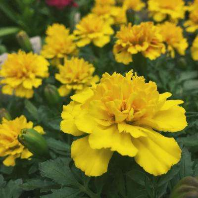 1 Pt. Yellow Marigold Plant in Grower's Pot (6-Pack)