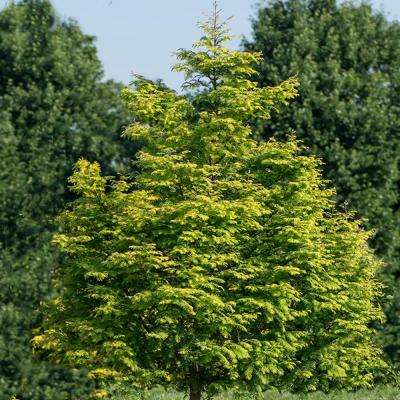 4 in. Pot Amber Glow Dawn Redwood (Metasequoia) Live Deciduous Plant Tree with Golden Foliage