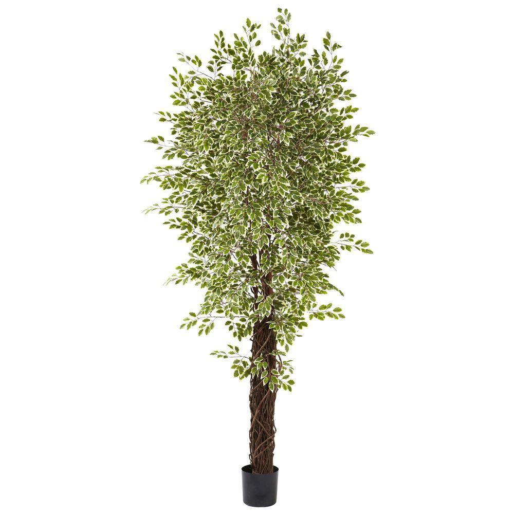 7.5 ft. Variegated Mini Ficus