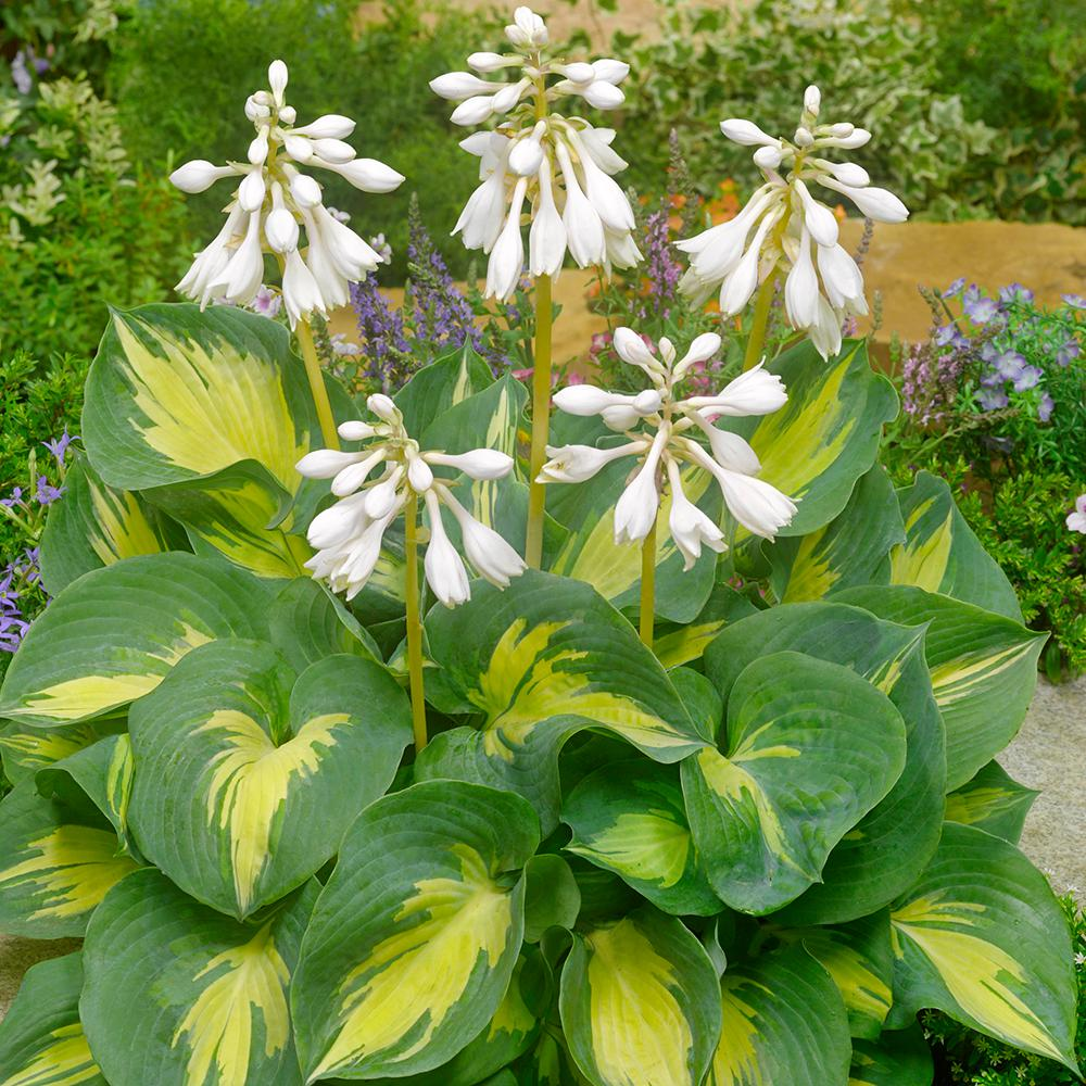 Spring Hill Nurseries Beach Boy Hosta Live Bareroot Plant White Flowers On Yellow
