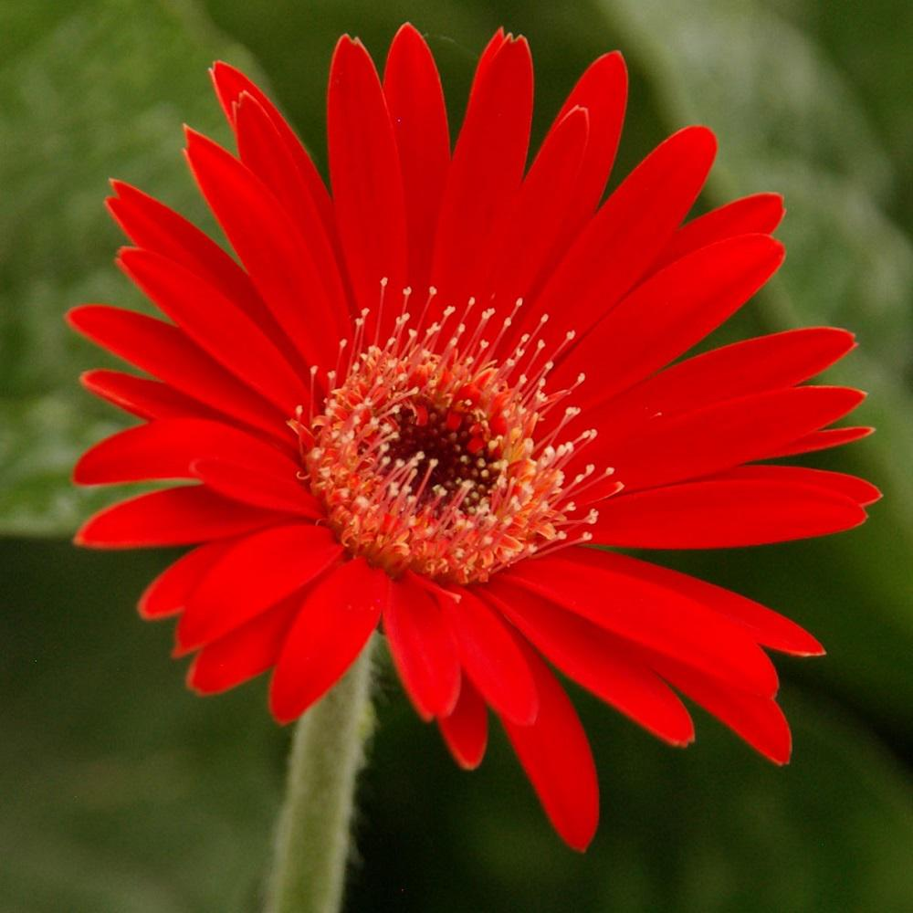 Southern living plant collection 2 gal scarlet drakensberg daisy southern living plant collection 2 gal scarlet drakensberg daisy gerbera with bright red blooms mightylinksfo
