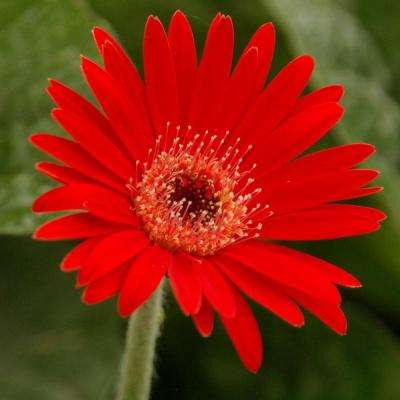 2 Gal. Scarlet Drakensberg Daisy Gerbera With Bright Red Blooms, Live Perennial Plant