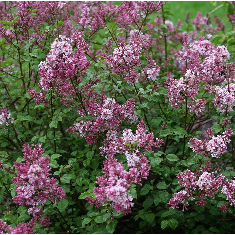 Proven Winners 3 Gal Scent And Sensibility Pink Syringa