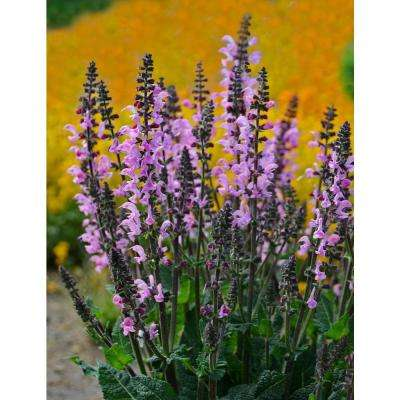 Color Spires Pink Dawn Perennial Salvia (Salvia) Live Plant, Pink Flowers, 0.65 Gal.