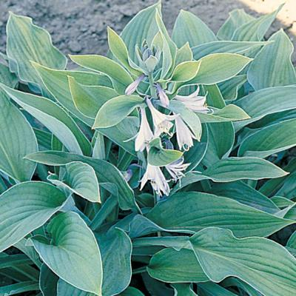 2.5 Qt. Hyacinthina Green Hosta Plant