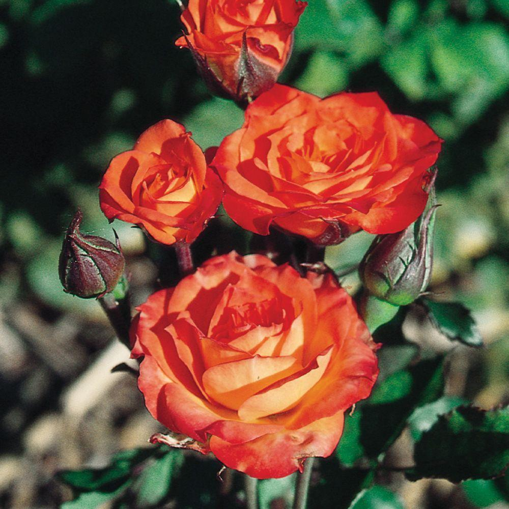 Mea Nursery All Time Favorites Rose Charisma