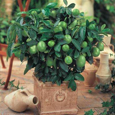 2 in. Pot Dwarf Key Lime Tree Live Tropical Plant White Flowers Mature to Green Fruit